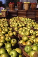 apples waiting to be pressed